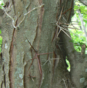 HoneyLocust-2